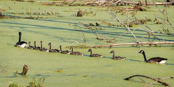 Orderly Canada goose teens