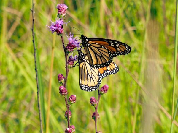 Monarchs feeding side by side