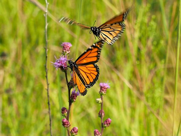 Monarch departing