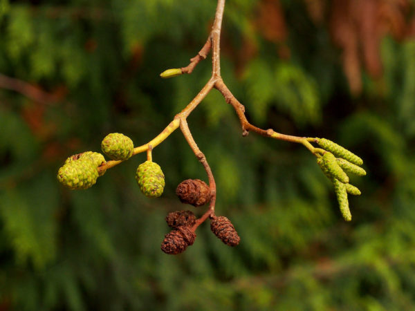 A red alder in the fall, with buds all set for the following spring and a cluster of female cones remaining from the previous spring.