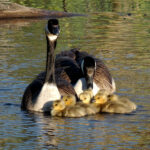 Young goslings snuggle with parent Canada geese