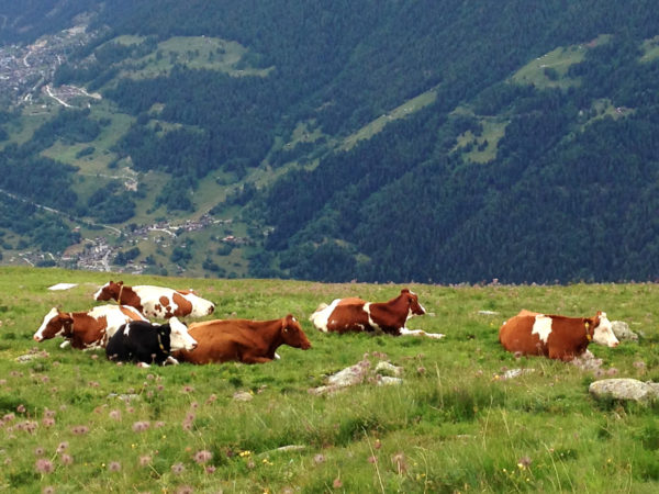 Alpine herd