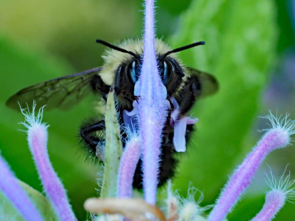 Bumblebee hairs and antennae