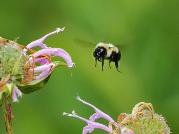 Bumblebee approachers Monarda