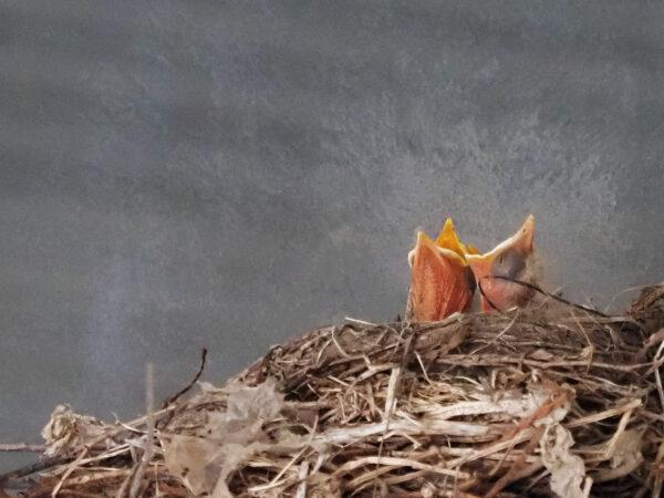 Robin babies in nest
