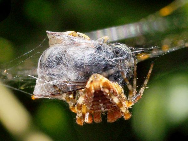 Fly encased