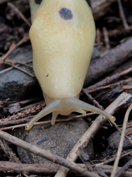 Tentacles of banana slug, Olympic Peninsula