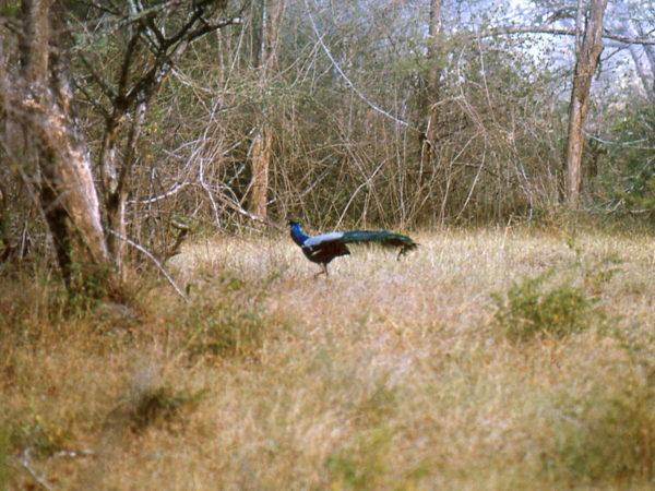 Bandipur peacock