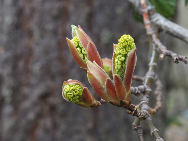 Big leaf maple bud opening