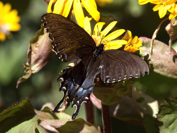 Eastern Tiger Swallowtail Female, Black Morph