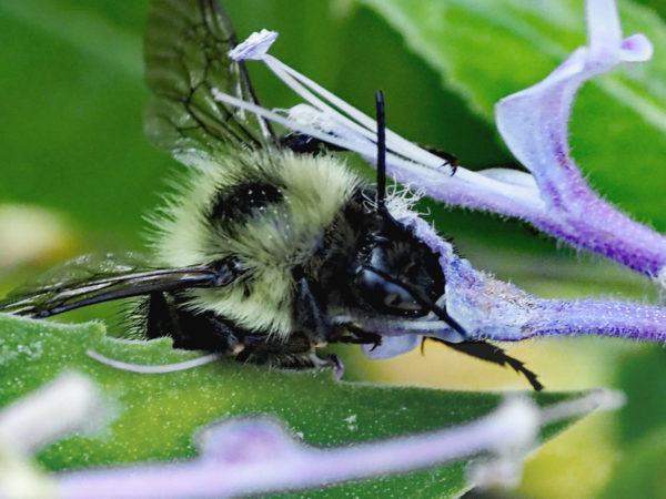 Bumblebee and pollen