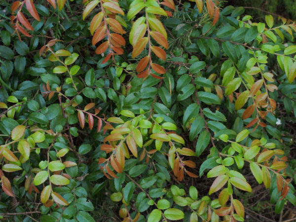 Chinook evergreen huckleberry spring foliage