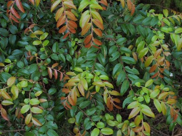 Chinook evergreen huckleberry spring foliage