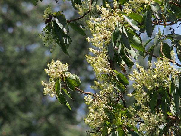Chinook madrone flowers
