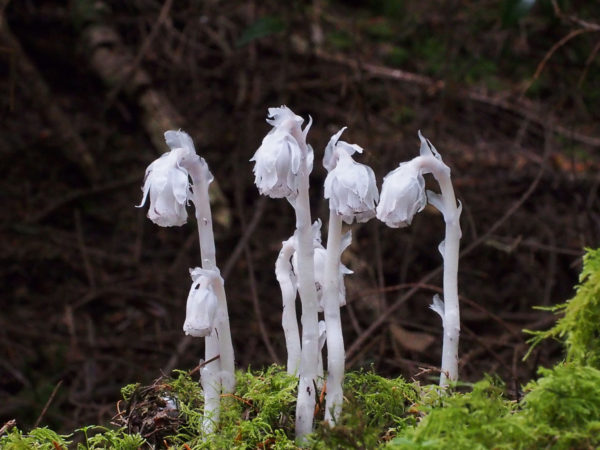 Cemetery Woods Indian Pipe Cluster