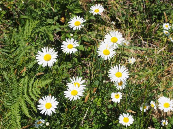 Oxeye daisies (Leucantheumum vulgare), Olympic Peninsula