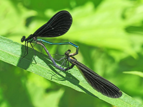 Jewelwing Mating Pair