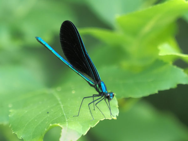 Ebony Jewelwing Male