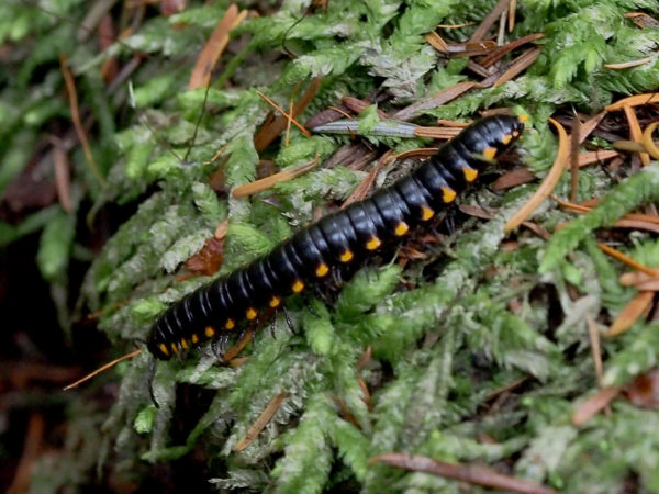 Deception Pass millipede