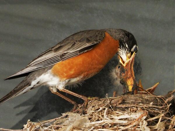 Robins deep feeding