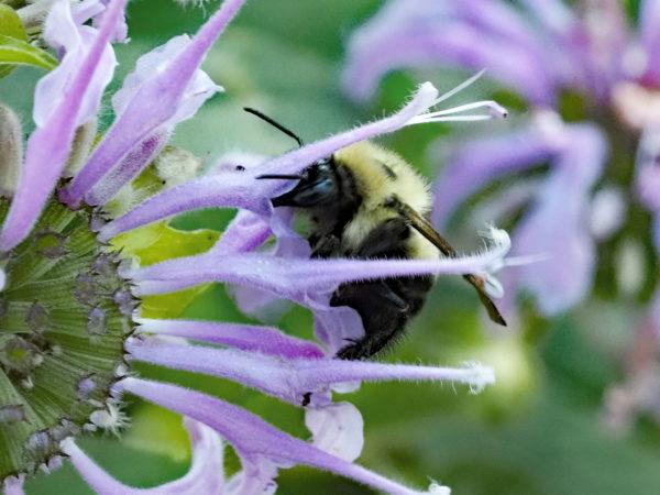Bumblebee Drinking