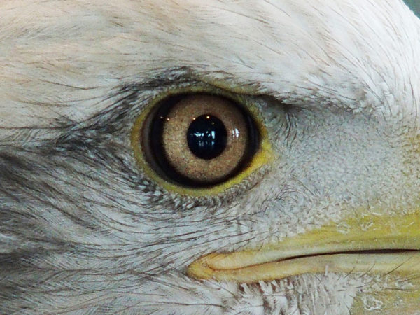 Bald eagle eye close up