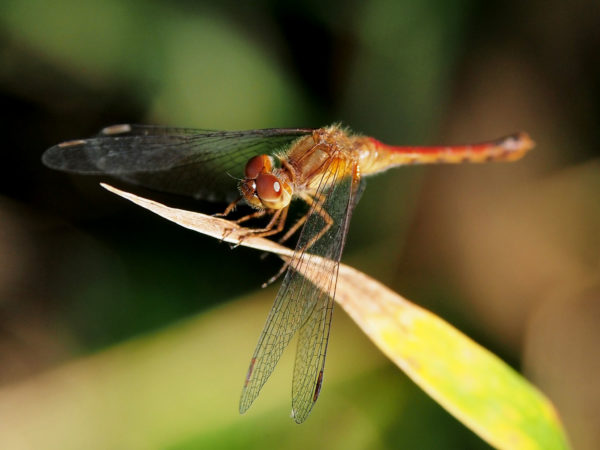 Dragonfly, Eastman Nature Center, Minnesota