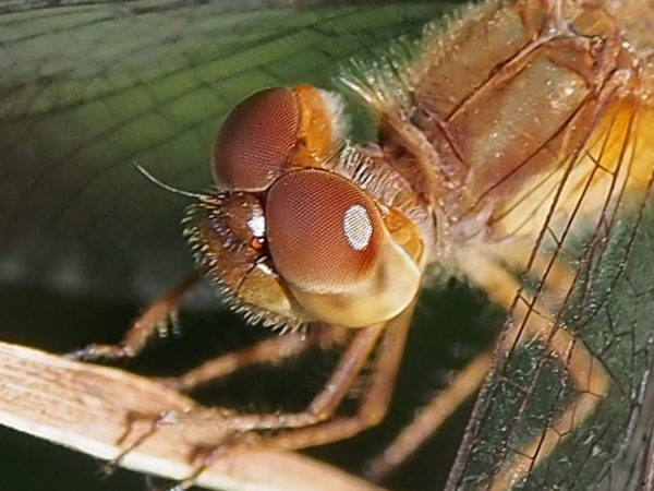 Dragonfly compound eyes