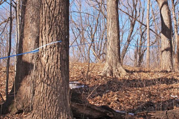Sap line, Eastman Nature Center