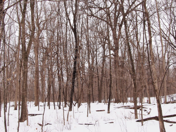 Sugar bush at Eastman Nature Center, Minnesota