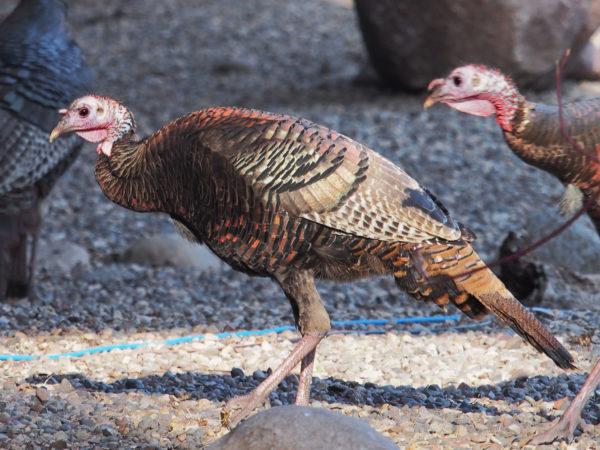 Wild turkey A