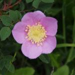 Ebey's Landing Nootka Rose