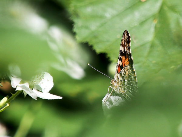 Painted lady, underwings