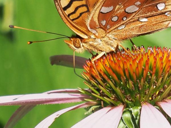 Fritillary on Echinacea Close-Up