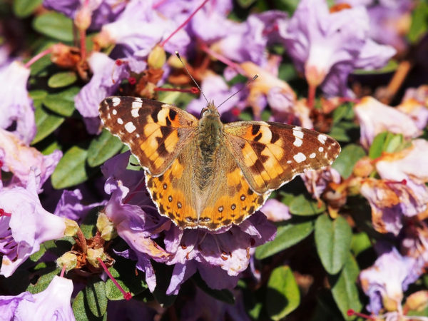 Painted lady, top view