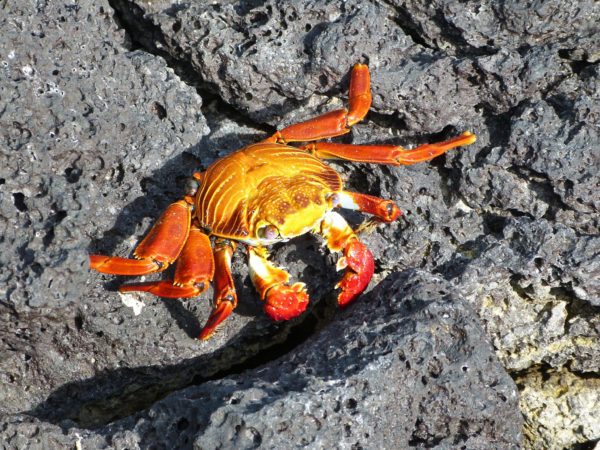 Sally Lightfoot crab, Galapagos Islands
