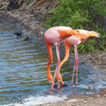 Flamingo pair, Galapagos Islands