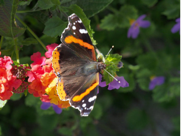 Red admiral, top view