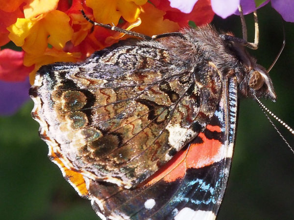 Red admiral underwing, enlarged