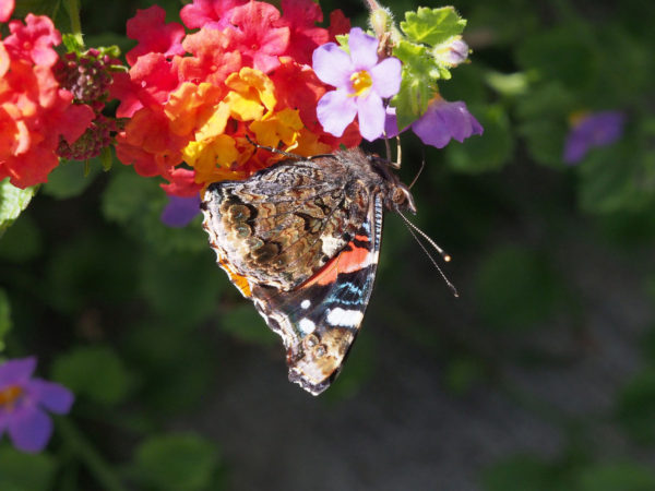 Red admiral, underwing
