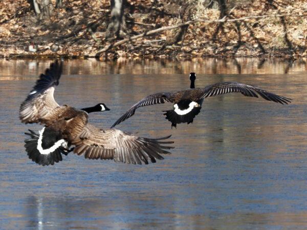 Canada Goose Pair Descending