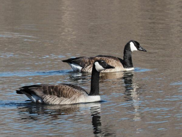 Canada Goose Pair Swimming