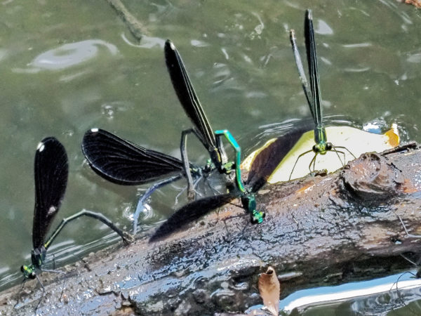 Male Jewelwing Clasps Female