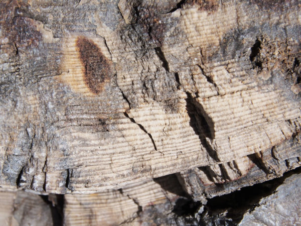 Growth Rings in Petrified Tree Trunk