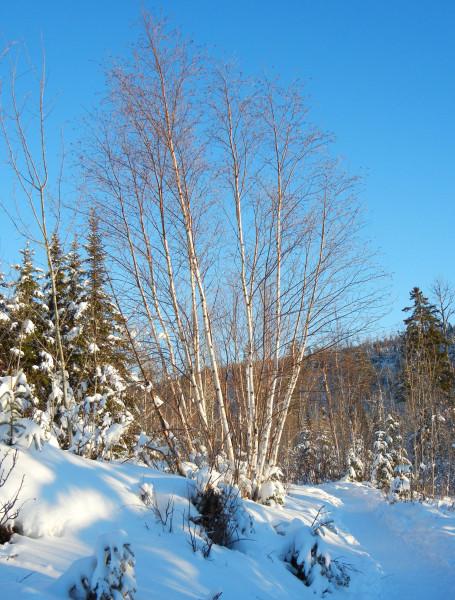 Gunflint birch 350