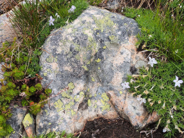 Hart's Pass lichens