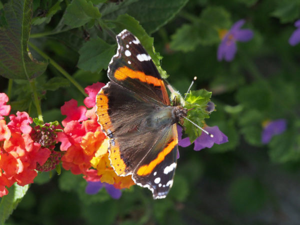 Herbs, colored flowers - and butterflies