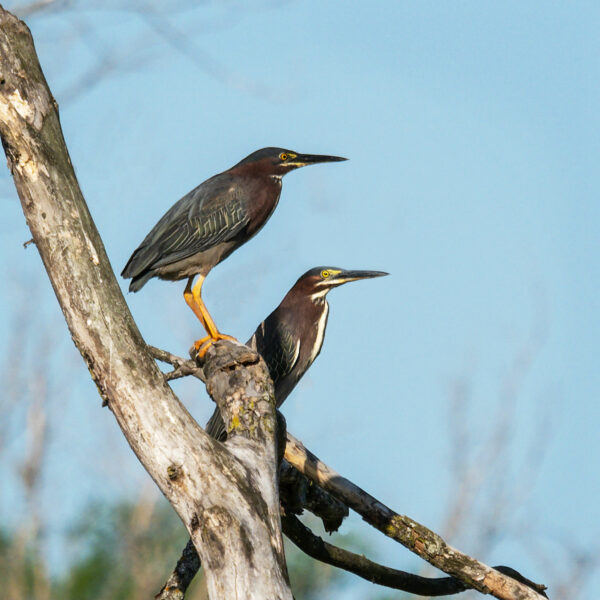 Green herons in synch A