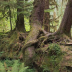 Hoh River nurse log