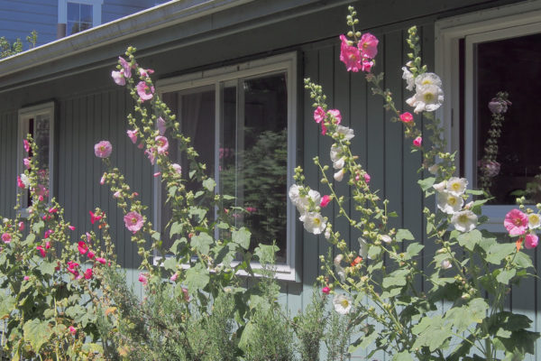 Hollyhock bed, Whidbey Island, WA